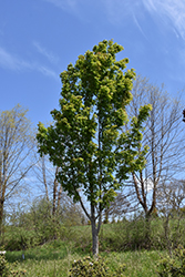 Manchurian Maple (Acer mandshuricum) at Alsip Home and Nursery