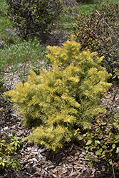 Winter Gold White Fir (Abies concolor 'Winter Gold') at Alsip Home and Nursery