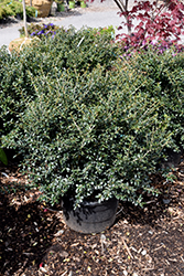 Green Lustre Japanese Holly (Ilex crenata 'Green Lustre') at Alsip Home and Nursery