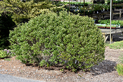 Steeds Japanese Holly (Ilex crenata 'Steeds') at Alsip Home and Nursery