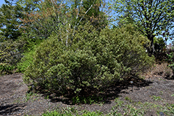Nordic Inkberry Holly (Ilex glabra 'Nordic') at Alsip Home and Nursery