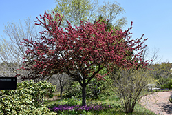 Adams Flowering Crab (Malus 'Adams') at Alsip Home and Nursery