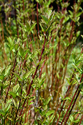 Arctic Fire® Red Twig Dogwood (Cornus sericea 'Farrow') at Alsip Home and Nursery