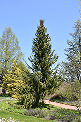 Serbian Spruce (Picea omorika) at Alsip Home and Nursery