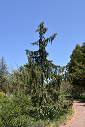 Weeping Nootka Cypress (Chamaecyparis nootkatensis 'Pendula') at Alsip Home and Nursery