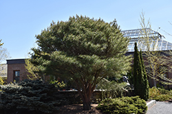 Japanese Umbrella Pine (Pinus densiflora 'Umbraculifera') at Alsip Home and Nursery