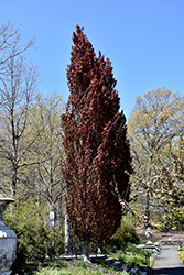 Rohan Obelisk Beech (Fagus sylvatica 'Rohan Obelisk') at Alsip Home and Nursery