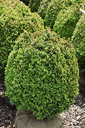 Dwarf English Boxwood (Buxus sempervirens 'Suffruticosa') at Alsip Home and Nursery