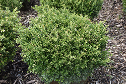 Franklin's Gem Boxwood (Buxus microphylla 'Franklin's Gem') at Alsip Home and Nursery