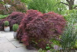 Crimson Queen Japanese Maple (Acer palmatum 'Crimson Queen') at Alsip Home and Nursery