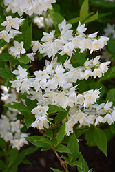 Chardonnay Pearls® Deutzia (Deutzia gracilis 'Duncan') at Alsip Home and Nursery