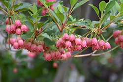 Redvein Enkianthus (Enkianthus campanulatus) at Alsip Home and Nursery