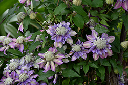 Diamantina Clematis (Clematis 'Diamantina') at Alsip Home and Nursery