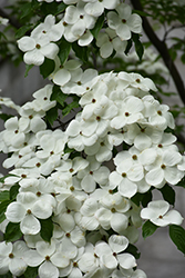 Celestial Flowering Dogwood (Cornus 'Rutdan') at Alsip Home and Nursery