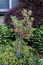 Showy Lanterns Enkianthus (Enkianthus campanulatus 'Showy Lanterns') at Alsip Home and Nursery