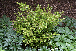 Golden Dream Boxwood (Buxus microphylla 'Peergold') at Alsip Home and Nursery