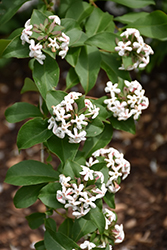 Fragrant Abelia (Abelia mosanensis) at Alsip Home and Nursery