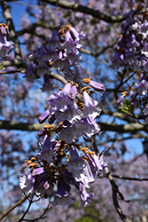 Royal Empress Tree (Paulownia tomentosa) at Alsip Home and Nursery