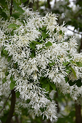 Chinese Fringetree (Chionanthus retusus) at Alsip Home and Nursery