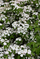 Stardust Flowering Dogwood (Cornus 'Stardust') at Alsip Home and Nursery