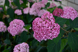 Bella Anna Hydrangea (Hydrangea arborescens 'Bella Anna') at Alsip Home and Nursery