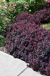 Concorde Japanese Barberry (Berberis thunbergii 'Concorde') at Alsip Home and Nursery