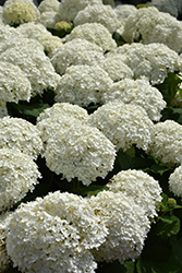 Incrediball® Hydrangea (Hydrangea arborescens 'Abetwo') at Alsip Home and Nursery