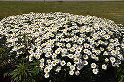 Becky Shasta Daisy (Leucanthemum x superbum 'Becky') at Alsip Home and Nursery