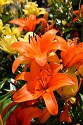 Brunello Lily (Lilium 'Brunello') at Alsip Home and Nursery