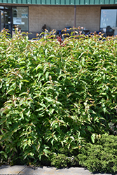 Butterfly Southern Bush Honeysuckle (Diervilla sessilifolia 'Butterfly') at Alsip Home and Nursery