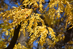 Shademaster Honeylocust (Gleditsia triacanthos 'Shademaster') at Alsip Home and Nursery