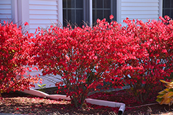 Chicago Fire Burning Bush (Euonymus alatus 'Chicago Fire') at Alsip Home and Nursery