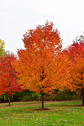 Commemoration Sugar Maple (Acer saccharum 'Commemoration') at Alsip Home and Nursery