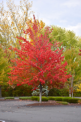 Morgan Maple (Acer rubrum 'Morgan') at Alsip Home and Nursery