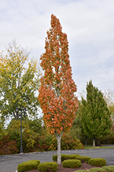 Armstrong Maple (Acer x freemanii 'Armstrong') at Alsip Home and Nursery