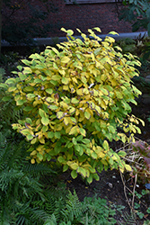 Leatherwood (Dirca palustris) at Alsip Home and Nursery
