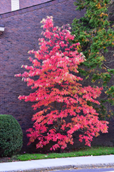 Sourwood (Oxydendron arboreum) at Alsip Home and Nursery