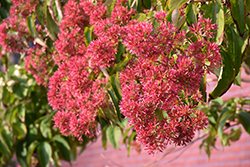 Seven-Son Flower (Heptacodium miconioides) at Alsip Home and Nursery