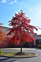 Pin Oak (Quercus palustris) at Alsip Home and Nursery