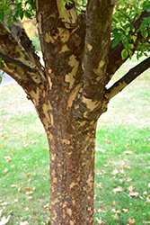 Lacebark Elm (Ulmus parvifolia) at Alsip Home and Nursery