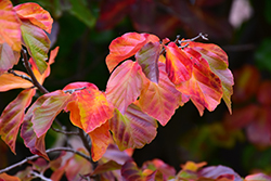 Persian Parrotia (Parrotia persica) at Alsip Home and Nursery