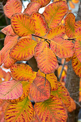 American Smoketree (Cotinus obovatus) at Alsip Home and Nursery