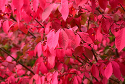 Winged Burning Bush (Euonymus alatus) at Alsip Home and Nursery