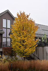 Jefferson Elm (Ulmus americana 'Jefferson') at Alsip Home and Nursery