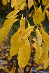 Spicebush (Lindera benzoin) at Alsip Home and Nursery