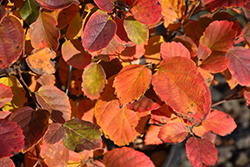 Mt. Airy Fothergilla (Fothergilla major 'Mt. Airy') at Alsip Home and Nursery
