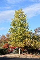 Robusta Poplar (Populus deltoides 'Robusta') at Alsip Home and Nursery