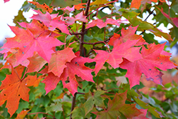 Norwegian Sunset Maple (Acer 'Norwegian Sunset') at Alsip Home and Nursery