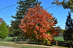 Ruby Frost Red Maple (Acer rubrum 'Polara') at Alsip Home and Nursery