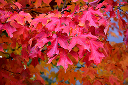 Fall Fiesta Sugar Maple (Acer saccharum 'Bailsta') at Alsip Home and Nursery